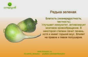 Зеленая редька польза и вред для организма