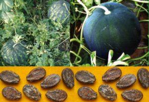 Семена арбуза вред и польза и вред