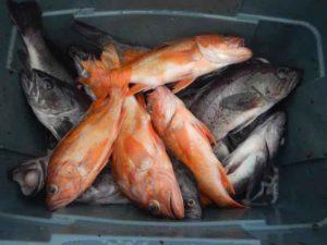Морской окунь польза и вред для здоровья