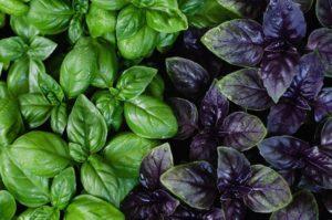 Базилик зеленый и фиолетовый разница польза и вред