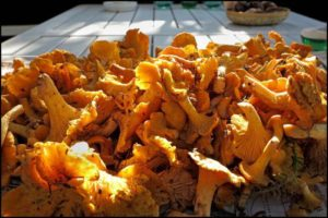 Лисички грибы польза и вред для организма человека