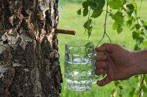 Березовый сок польза и вред как сохранить его