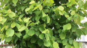 Лист лесного ореха лист польза и вред