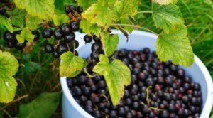 Листья черной смородины польза и вред для здоровья