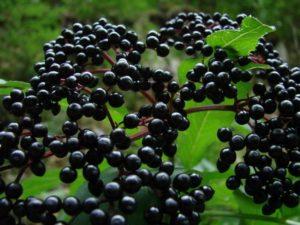 Бузина черная в саду польза и вред
