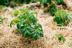 Мульча из скошенной травы вред и польза