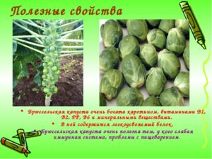 Брюссельская капуста польза и вред лечебные свойства