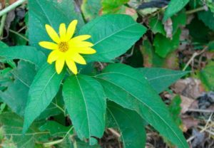 Листья и цветы топинамбура польза и вред