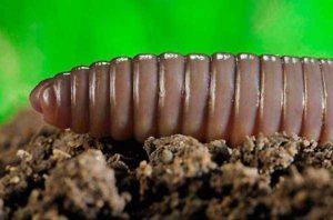 Дождевые черви в огороде вред или польза