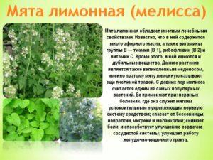 Трава мелисса лечебные свойства польза и вред