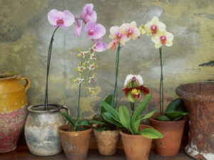 Орхидея фаленопсис польза и вред для дома