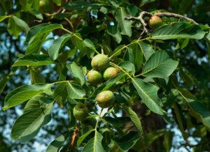 Грецкий орех в саду польза и вред растениям