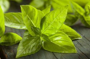 Базилик зеленый вред и польза для человеческого организма