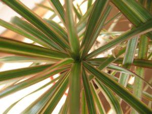 Драцена маргината польза и вред для дома