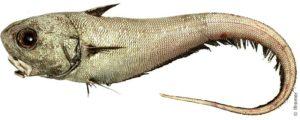 Макрурус рыба вред и польза и вред