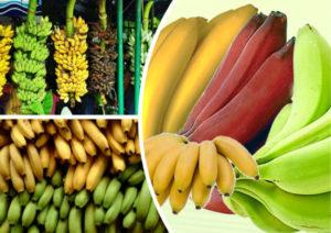 Бананы польза и вред для здоровья человека