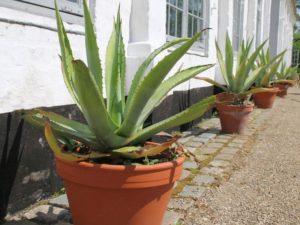 Агава растение в домашних условиях польза и вред