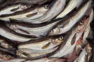 Минтай что за рыба польза и вред