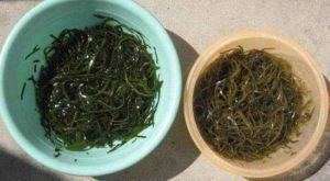 Морская капуста маринованная польза и вред лечебные свойства
