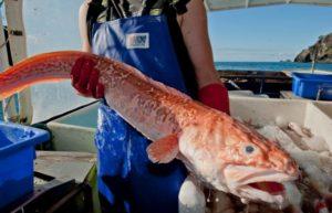 Рыба конгрио вред и польза и вред
