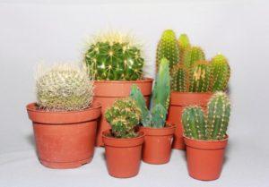 Все о кактусах комнатных польза и вред