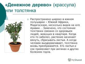 Денежное дерево польза и вред для человека