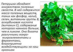 Петрушка листовая польза и вред для здоровья