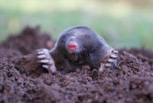 Узнай какую пользу и какой вред приносят почве кроты