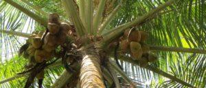 Кокос польза и вред для здоровья женщины