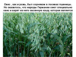Овес на огороде польза и вред сеять осенью