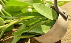 Семена шалфея польза и вред в гинекологии