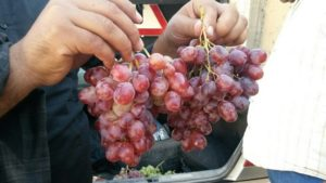Виноград тайфи польза и вред для организма