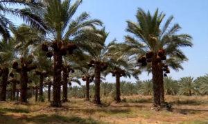 Финиковая пальма польза и вред для дома