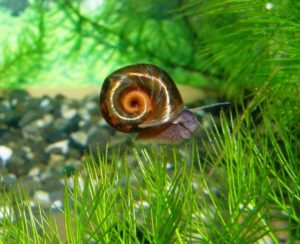 Улитка катушка в аквариуме вред или польза
