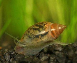 Улитки физы в аквариуме польза или вред