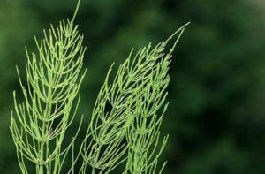 Хвощ полевой вред и польза и вред