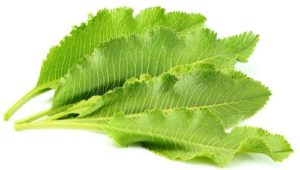Листья хрен польза и вред для здоровья
