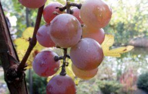Виноград лидия польза и вред для организма