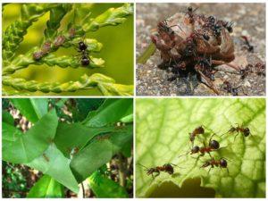 Рыжие муравьи на даче польза или вред