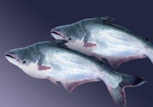 Пангасиус что за рыба польза и вред