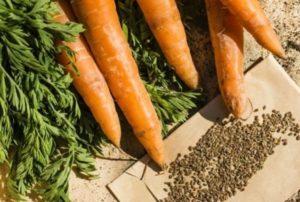 Семена моркови польза и вред как принимать