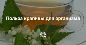 Настой крапивы польза и вред для организма человека