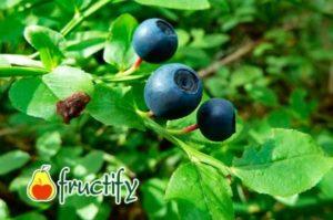 Листья черники польза и вред для здоровья