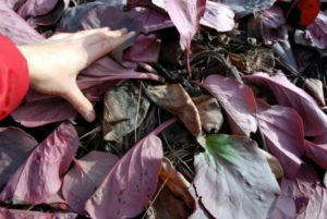 Чай из листьев бадана польза и вред