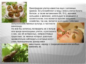 Виноградная улитка польза и вред для организма человека