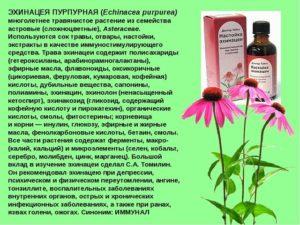 Трава эхинацея польза и вред для женского здоровья