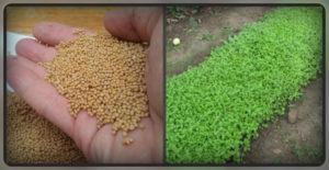 Семена горчицы посев на даче под зиму польза и вред
