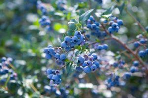 Голубика польза и вред для здоровья женщины