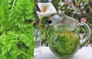 Чай из ботвы моркови польза и вред