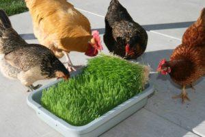 Люцерна для куриц несушек польза и вред